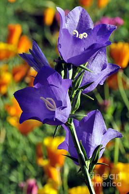 Purple Harebell Flowers Poster