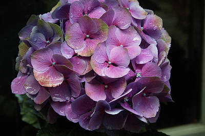 Purple Hydrangea- By Linda Woods Poster by Linda Woods