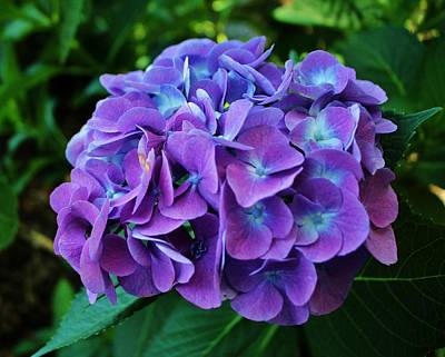 Purple Hydrangea Poster