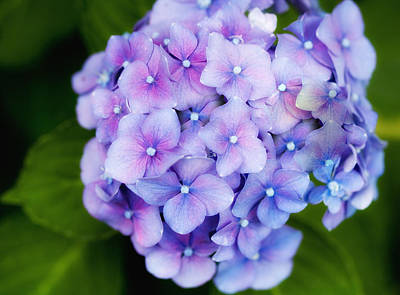 Purple Hydrangea Poster by Gina Cormier