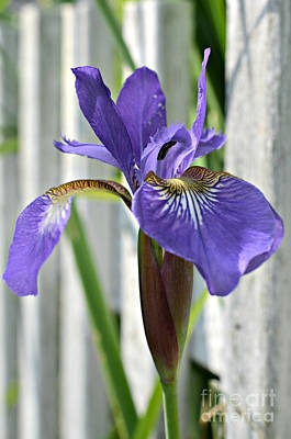 Purple Iris At The Fence Poster by Lila Fisher-Wenzel