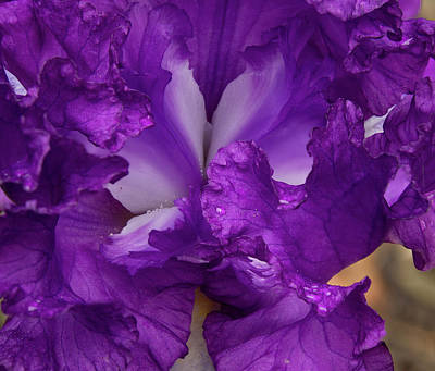 Poster featuring the photograph Purple Iris Close Up by Jean Noren