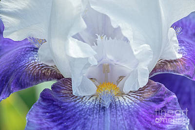 Poster featuring the photograph Purple Iris by Craig Leaper