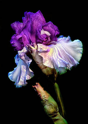 Purple Iris Poster by Dave Mills