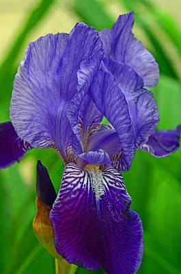 Purple Iris Poster by Lisa Phillips