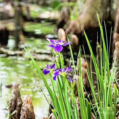 Purple Iris Poster by Scott Pellegrin