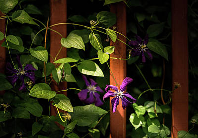 Poster featuring the photograph Purple Jackmanii Clematis by Onyonet  Photo Studios