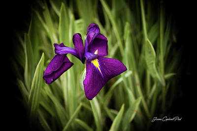 Poster featuring the photograph Purple Japanese Iris by Joann Copeland-Paul