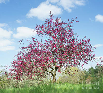 Purple Leaved Crab Apple Tree Blossoming Poster by Tim Gainey