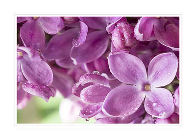 Purple Lilac Greeting Card Poster