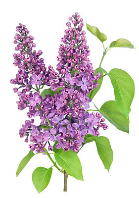 Purple  Lilac Isolated Branch Poster