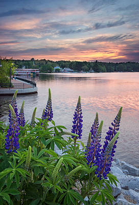 Purple Lupines On The Causeway Poster by Darylann Leonard Photography