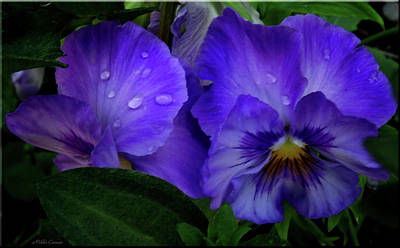 Purple Pansies Poster by Mikki Cucuzzo