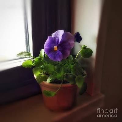 Purple Pansy On My Windowsill Poster