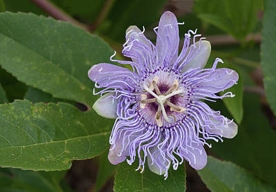 Purple Passionflower #2 Poster by Paul Rebmann