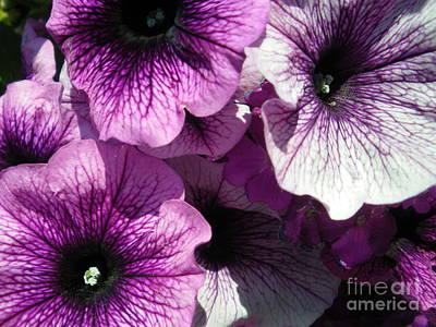 Purple Petunia Paradise Poster