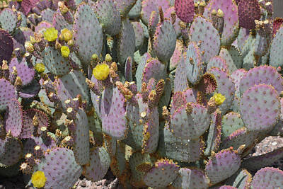 Purple Prickly Pear 1 Poster by Aimee L Maher Photography and Art Visit ALMGallerydotcom