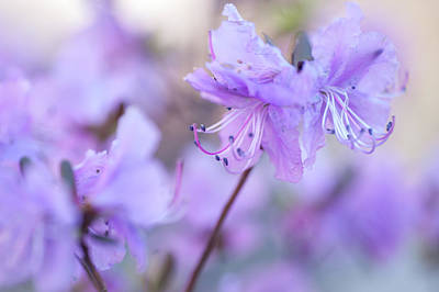 Poster featuring the photograph Purple Rhododendron 1. Spring Watercolors by Jenny Rainbow