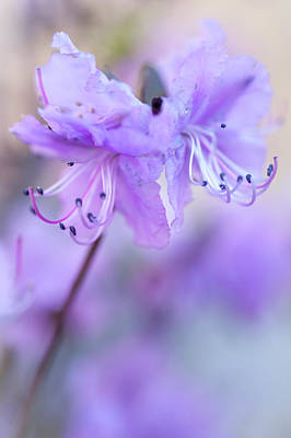 Poster featuring the photograph Purple Rhododendron. Spring Watercolors by Jenny Rainbow