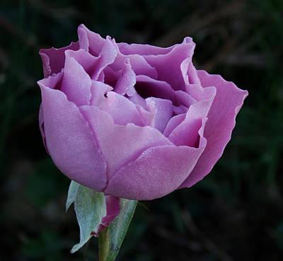 Purple Rose II Poster by Sandy Keeton