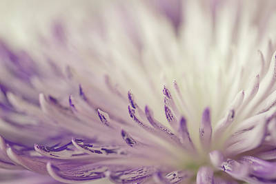 Purple Spider Mum Macro Poster