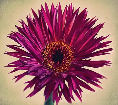 Purple Springs Spider Gerbera Daisy  Poster by Sandi OReilly