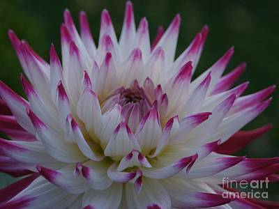 Purple Tipped Starburst Dahlia Poster