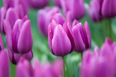 Purple Tulips Of Keukenhof Poster