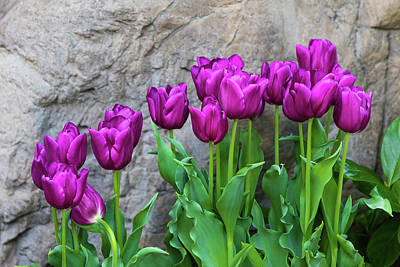 Purple Tulips Poster by Tom Mc Nemar