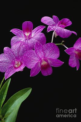 Purple Vanda Orchids Poster