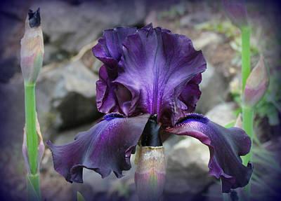 Purple Velvet Iris Poster by Katie Wing Vigil
