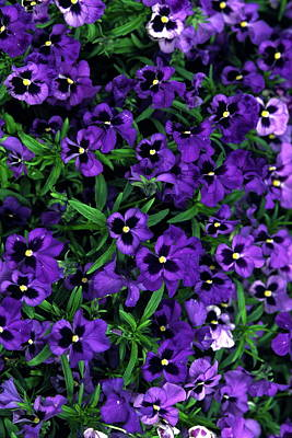 Purple Viola Flowers Poster by Sally Weigand