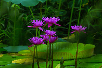 Purple Water Lilies Poster by Garry Gay