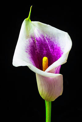 Purple White Calla Lily Poster