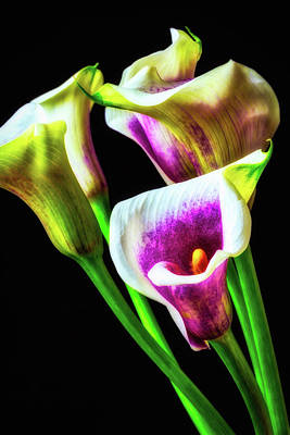 Purple White Glowing Calla Lilies Poster by Garry Gay