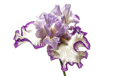 Purple White Iris Poster