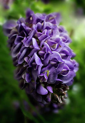 Purple Wisteria Poster by Greg and Chrystal Mimbs