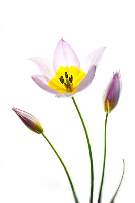Purple Yellow Tulip 1 Poster