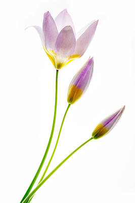 Purple Yellow Tulips 3 Poster