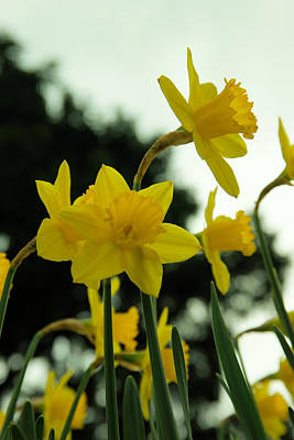Pushing Up Daffodils  Poster