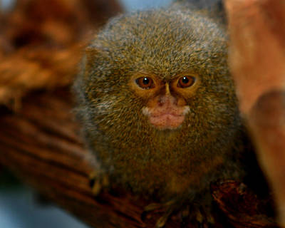 Pygmy Marmoset Poster by Anthony Jones