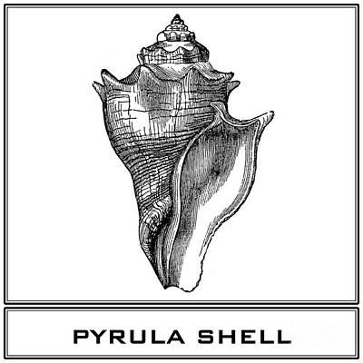 Pyrula Shell Poster