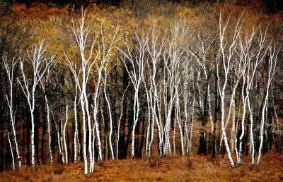 Quabbin Birches Poster by Richard Danek
