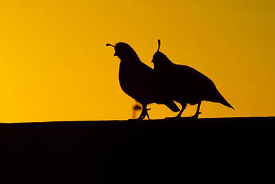 Quail At Sunset Poster by Judi Saunders