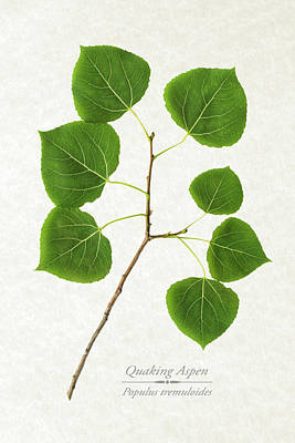 Quaking Aspen Poster by Christina Rollo