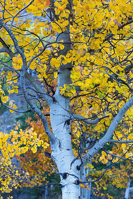 Poster featuring the photograph Quaking Aspen by Gary Lengyel