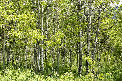 Poster featuring the photograph Quaking Aspens 2 by Cynthia Powell