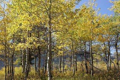 Poster featuring the photograph Quaking Aspens by Cynthia Powell