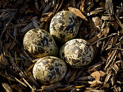 Quartet Of Killdeer Eggs By Jean Noren Poster by Jean Noren
