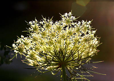 Poster featuring the photograph Queen Anne's Lace by Diane Merkle